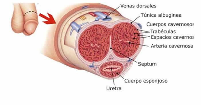 Fractura de pene: qué es y cómo se produce esta dolorosa lesión